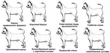 Все фото по тегу Чихуахуа Стандарт Фото / perego-shop.ru/gallery